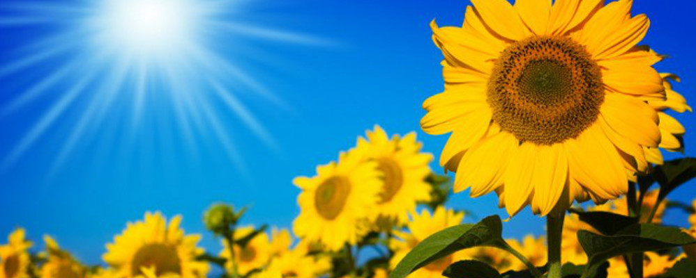 sunflower-sunshine